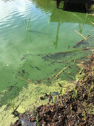 Grays Habor Toxic algae