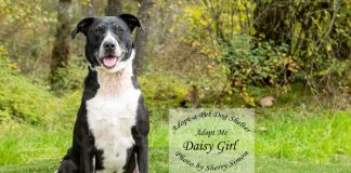Adopt A Pet Dog of the Week Daisy Girl