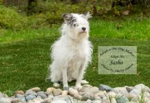 Adopt a Pet Dog of the Week Sasha