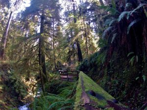 Quinault Rain forest Trail