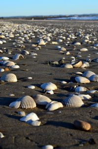 Where to go Beachcombing in Winter in Grays Harbor shells at Damon Point