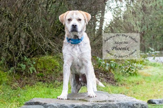 Adopt A Pet Dog of the Week Phoenix