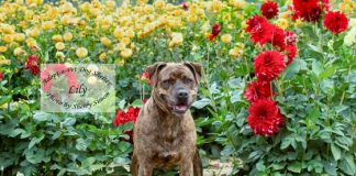 Adopt A Pet Dog of the Week Tiger Lily