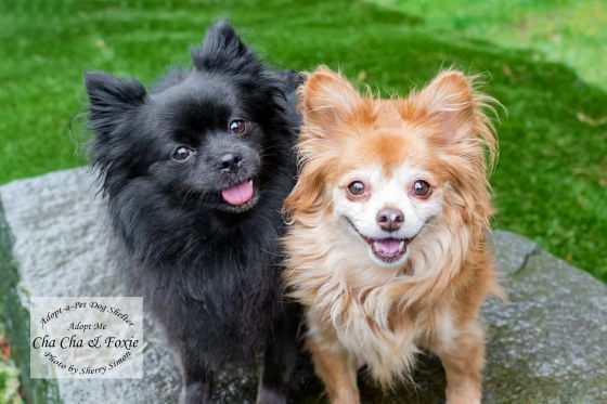 Adopt A Pet Dog of the Week Cha Cha and Foxie