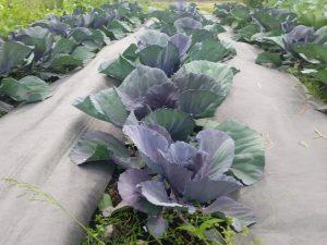 Victory Garden Grows