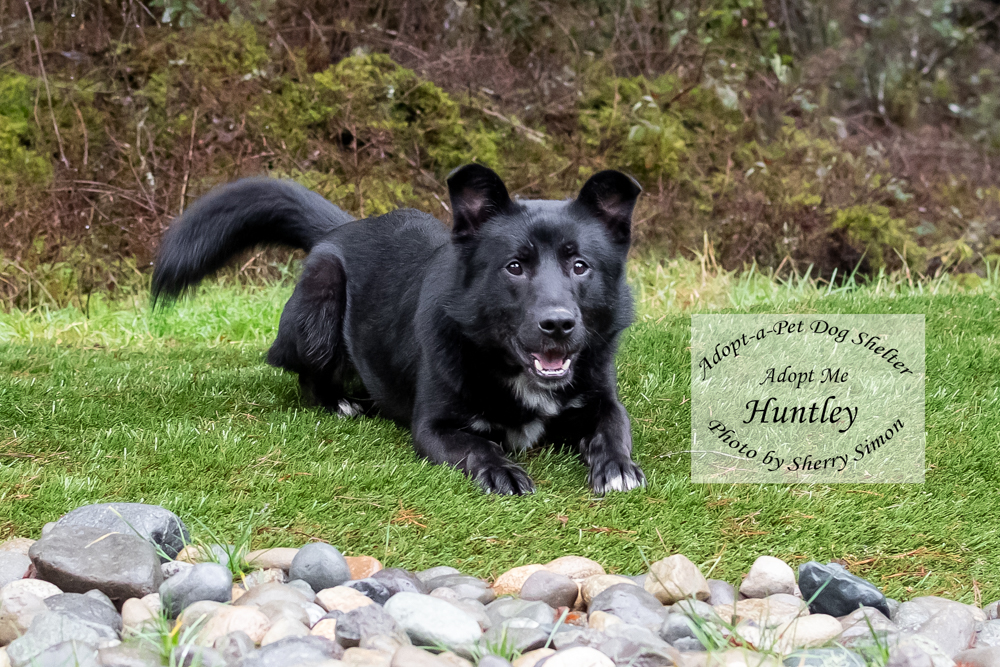 Adopt A Pet Huntley Dog of the Week