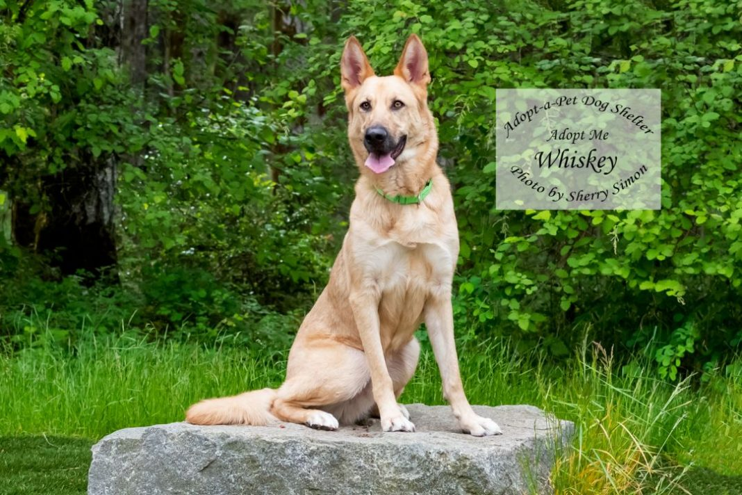 Adopt A Pet dog of the week Whiskey