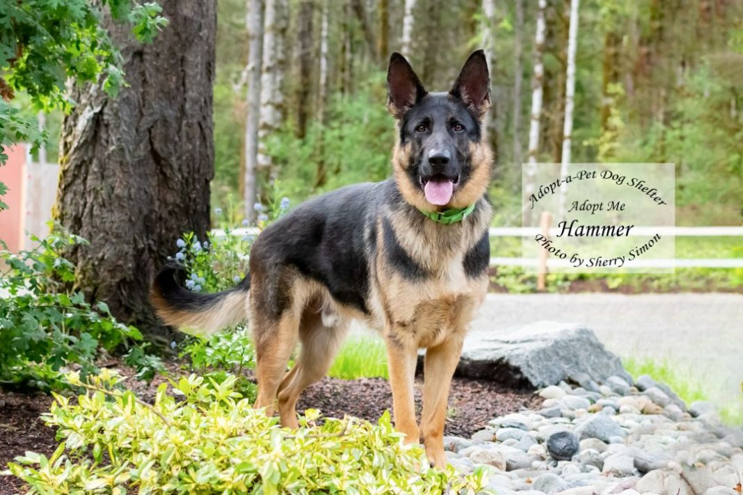 Adopt a Pet Dog of the Week Hammer
