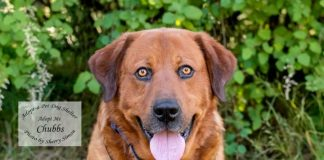Adopt a pet dog of the week chubbs