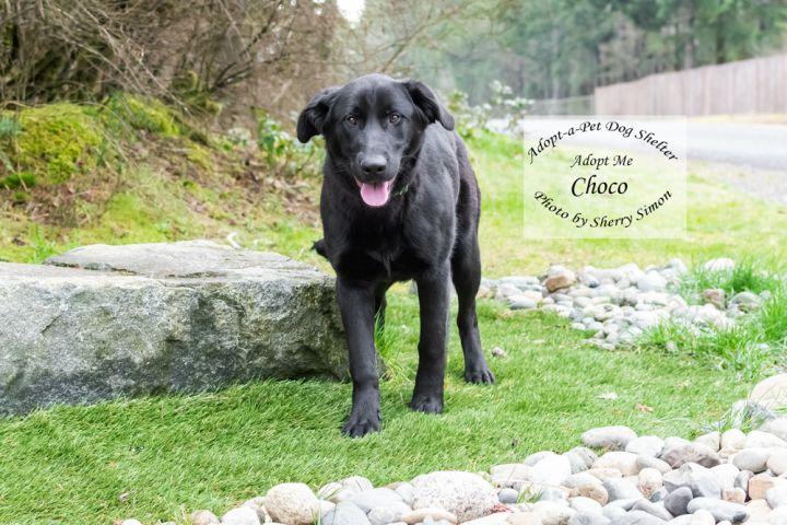 Adopt a pet dog of the week choco