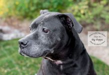 Adopt a pet Dog of the Week Big Poppa