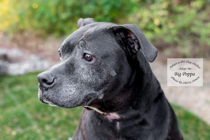 Adopt a pet Dog of the Week Big Poppa