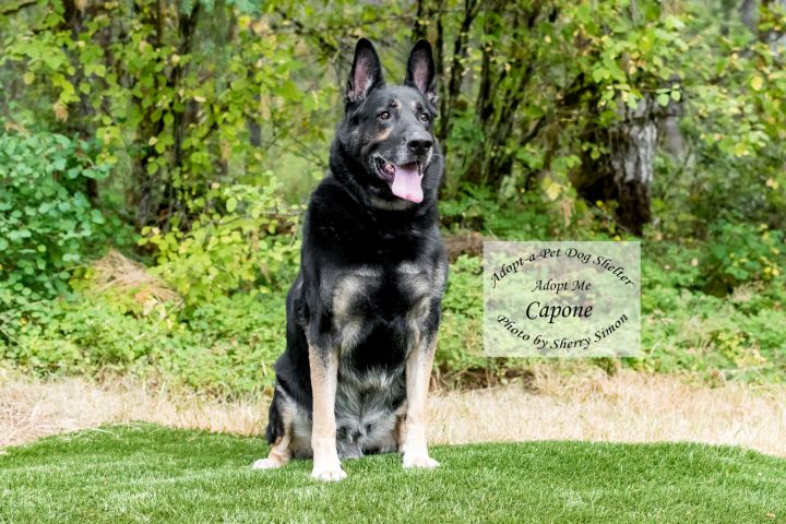 Adopt a pet dog of the week capone