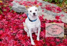 Adopt a pet dog of the week joey