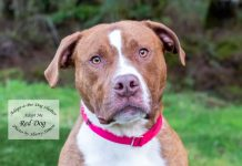 Adopt A Pet Dog of the Week Reddog