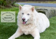 Adopt a Pet Dog of the Week Maverick