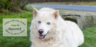 Adopt a Pet Dog of the Week Maverick