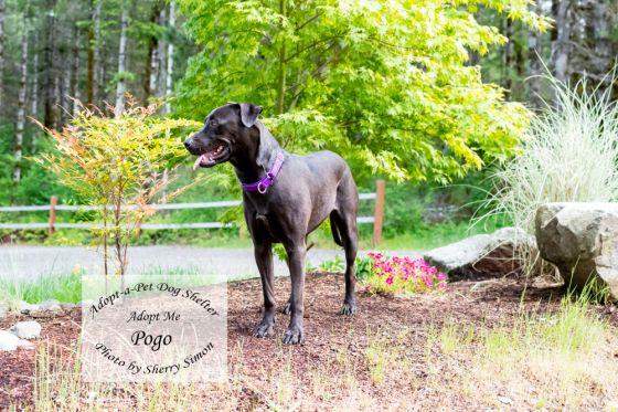 adopt a pet dog of the week pogo