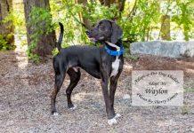 Adopt a pet dog of the week waylon