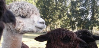 new moon alpaca