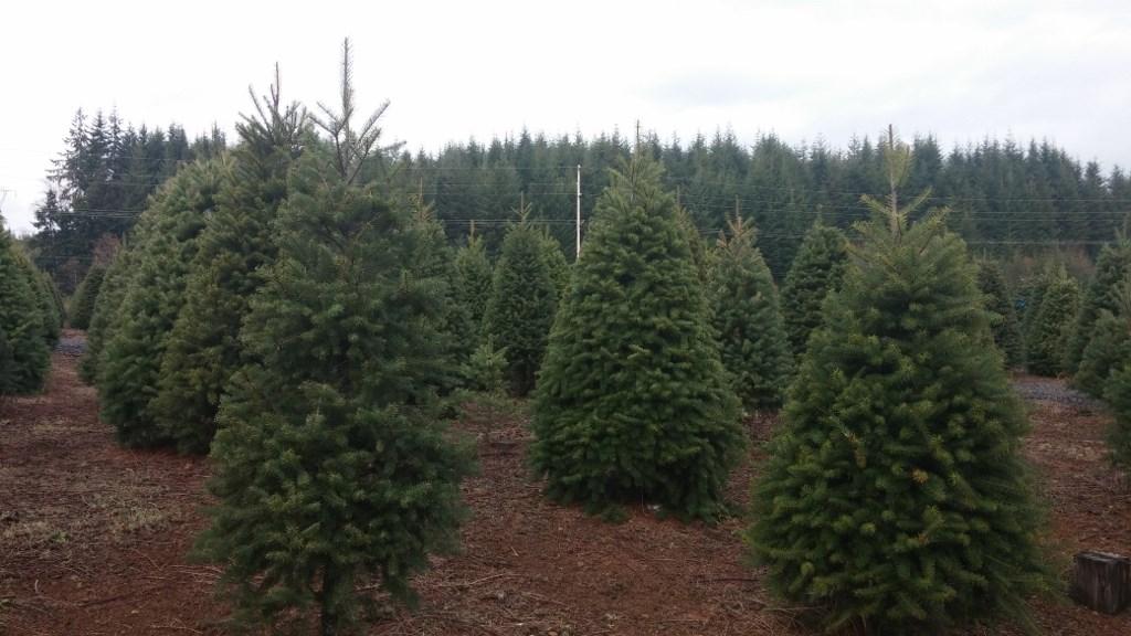 christmas trees grays harbor