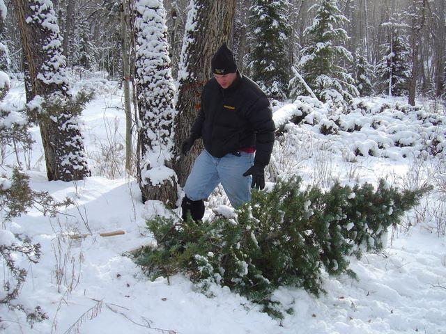 Bilderesultat for cutted christmas tree