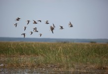 grays harbor shorebird festival