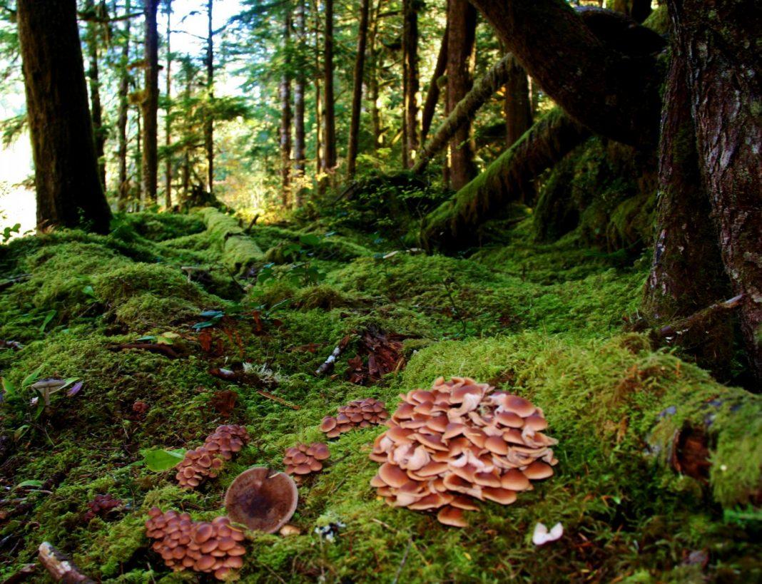 Quinault Mushroom Festival