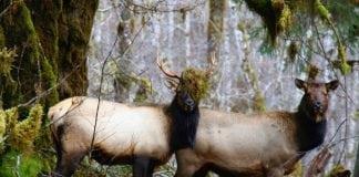 Roosevelt Elk rut
