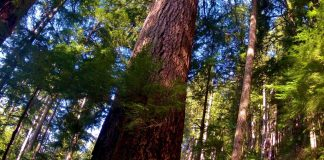 Quinault rainforest tall trees