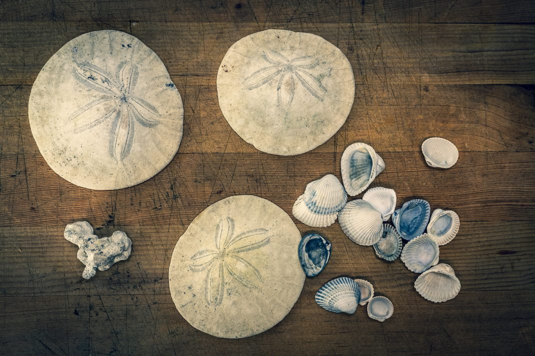 Where-to-go-Beachcombing-in-Winter-in-Grays-Harbor-Shells-and-sand-dollars