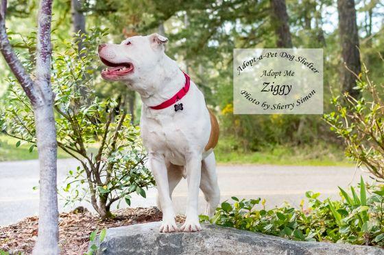 adopt a pet dog of the week Ziggy