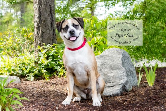 adopt a pet dog of the week piper sue