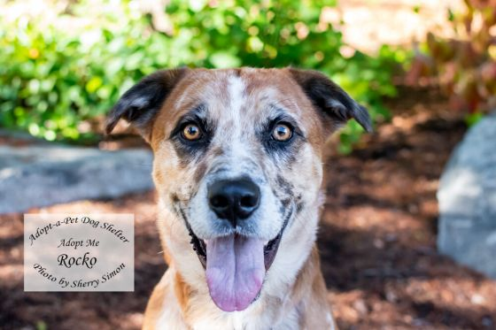 adopt a pet dog of the week Rocko